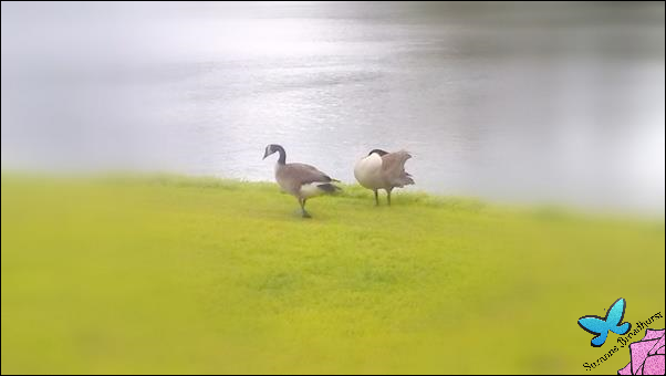 Geese[3]